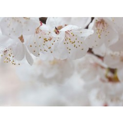 Apfelblüten  - Tischset aus Papier 44 x 32 cm