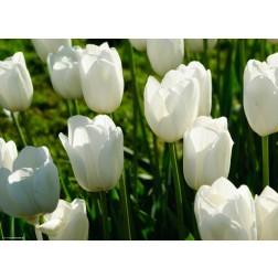 Tulpen weiß  - Tischset aus Papier 44 x 32 cm
