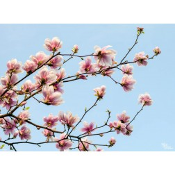 "Tischsets | Platzsets - Frühling ""Magnolien"" aus Papier - 44 x 32 cm"