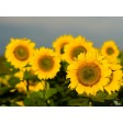 Tischset | Platzset - Sonnenblumenfeld (1) - aus Papier - 44 x 32 cm