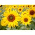 Tischset | Platzset - Sonnenblumenfeld (3) - aus Papier - 44 x 32 cm